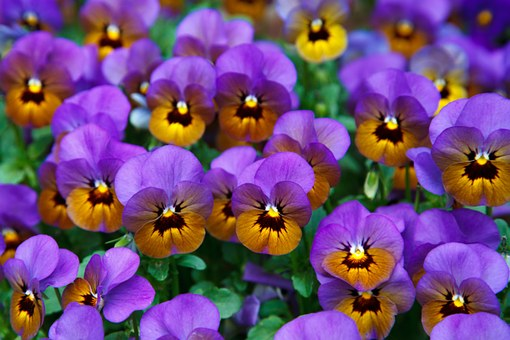 Spring pansies are great for adding colour to any garden